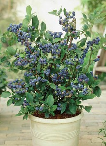 Patio Blueberry Bush