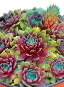Bi-Color Hens & Chicks