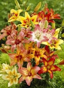 Exotic Lily Mix