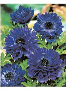 Set of 15 Double Windflower